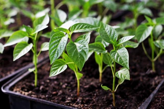 как защитить рассаду от вытягивания
